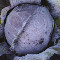Kål Langedijker Bewaar, organic-Ekologiskt frö till Kål Langedijker Bewaar