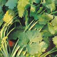 Korander Cilantro, organic-Ekologiskt frö till Korander Cilantro