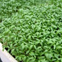Krasse Sprint, organic-Ekologiskt frö till Krasse Sprint