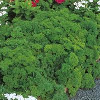 Kruspersilja Grune Perle, organic-Ekologiskt frö till Kruspersilja Grune Perle