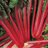 Mangold Rhubarb, organic-Ekologiskt frö till Mangold Rhubarb