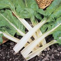 Mangold Swiss Chard, organic-Ekologiskt frö till Mangold Swiss Chard