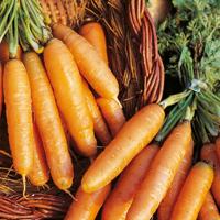 Morot Amsterdam Amfine, organic-Ekologiskt frö till Morot Amsterdam Bak 2 Amfine