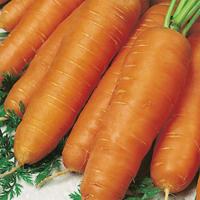Morot, Resistafly, organic-Ekologiskt frö till Morot, Resistafly