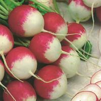 Rädisa Sparkler, organic-Ekologiskt frö till Rädisa Sparkler