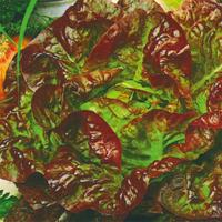 Sallad Marvel of four seasons, organic-Ekologiskt frö till Sallad Marvel of four seasons
