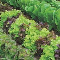Sallad mix, organic-Ekologiskt frö till Sallad mix