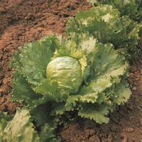 Sallad Saladin, organic-Ekologiskt frö till Sallad Saladin