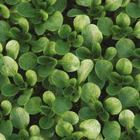 Vintersallad Vit, organic-Ekologiskt frö till vintersallad Vit