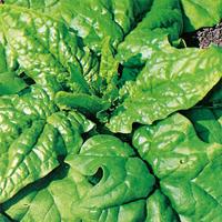 Spenat Matador, organic-Ekologiskt frö till Spenat Matador