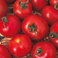 Tomat Moneymaker, organic-Ekologiskt frö till Tomat Moneymaker