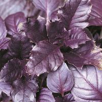 Rödbladig basilika - Purple basil-Frö till Rödbladig basilika från Suffolk Herbs