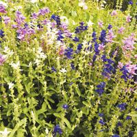 Broksalvia, Frö till Broksalvia från Suffolk Herbs