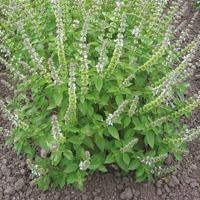Citronbasilika-Frö till Citronbasilika från Suffolk Herbs