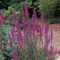 Fackelblomster - loosestrife-Frö till Fackelblomster från Suffolk Herbs