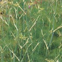 Fänkål - Green Fennel-Frö till Fänkål  från Suffolk Herbs