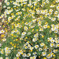 Kamomill-Frö till Kamomill från Suffolk Herbs