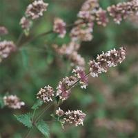 Kattmynta - Catnep-Frö till Kattmynta från Suffolk Herbs