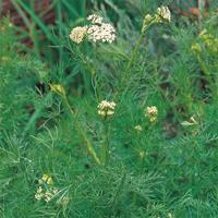 Kummin - Caraway-Frö till Kummin från Suffolk Herbs