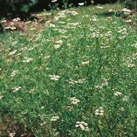 Spiskummin - Cumin-Frö till Spiskummin från Suffolk Herbs