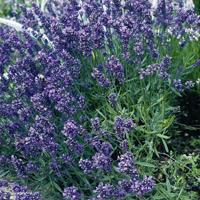 Lavendel, Munstead-Frö till Lavendel, Munstead från Suffolk Herbs