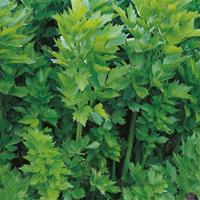 Libbsticka - lovage-Frö till Libbsticka från Suffolk Herbs