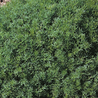 Romersk kamomill - Chamomile Lawn-Frö till Romersk kamomill från Suffolk Herbs