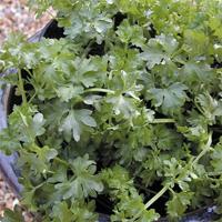 Persilja/Selleri Par-cel-Frö till Persilja/Selleri Par-cel från Suffolk Herbs