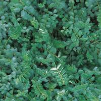 Pimpinell - salad burnet-Frö till Pimpinell från Suffolk Herbs