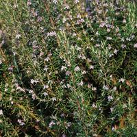 Rosmarin-Frö till Rosmarin från Suffolk Herbs