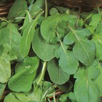 Sallads Ruccola-Frö till Ruccola från Suffolk Herbs