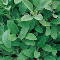 Salvia-Frö till Salvia från Suffolk Herbs