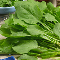 Sköldsyra - French Sorrel-Frö till Sköldsyra - Sorrel från Suffolk Herbs