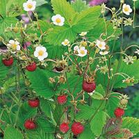 Smultron-Frö till smultron, Alpine Strawberry Suffolk Herbs