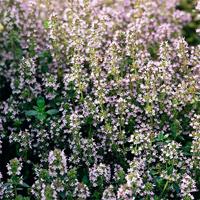 Timjan-Frö till Timjan från Suffolk Herbs