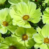 Rosenskära, Cosmos Xanthos-Fröer till gul rosenskära Cosmos, Xanthos