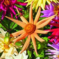 Dahlia, Cactus Hybrids Mixed, Fröer till Dahlia, Cactus Hybrids Mixed