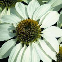 Rudbeckia, Echinacea White Swan Prima Donna-Fröer till Echinacea, White Swan Prima Donna