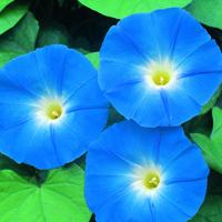 Blomman för dagen, Ipomoea Heavenly Blue-Fröer till Ipomoea, Heavenly Blue