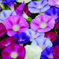 Blomman för dagen, Ipomoea Lazy lux-Fröer till Ipomoea Purpurea, Lazy Luxe Mixed
