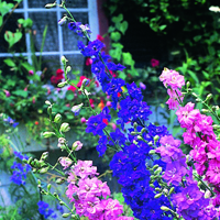 Sommarriddarsporre, Larkspur Sublime Mixed-Fröer till Larkspur, Sublime Mixed