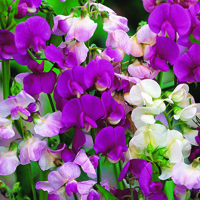 Rosenvial, Lathyrus Everlasting Mix-Fröer till Lathyrus, Everlasting Mix