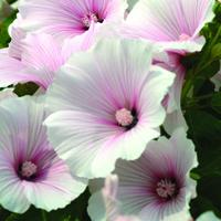 Sommarmalva, Lavatera Dwarf Pink Blush-Fröer till Lavatera, Dwarf Pink Blush