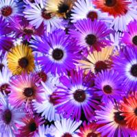 Doroteablomma, Mesembryanthemum Kings Sunshine Mix-Fröer till Mesembryanthemum, Kings Sunshine Mix