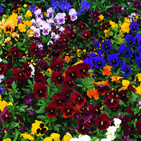 Pensé, Winter Flowering Mixed-Fröer till Pansy, Winter Flowering Mixed