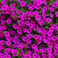 Petunia, Purple Velvet F1-Fröer till Petunia, Purple Velvet F1