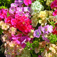 Sommarflox, Phlox Coral Reef-Fröer till Phlox, Coral Reef