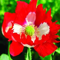 Vallmo, Poppy Victoria Cross-Fröer till Poppy, Victoria Cross