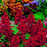 Salvia, Blaze of Fire-Fröer till Salvia, Blaze Of Fire
