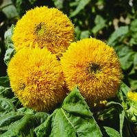 Solros, Sunflower Teddy Bears-Fröer till solros Sunflower, Teddy Bears